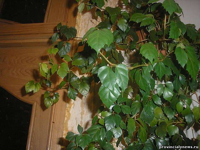 Березка комнатная уход в домашних условиях 218
